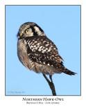 Northern Hawk-Owl-008
