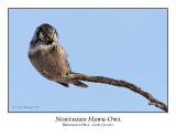 Northern Hawk-Owl-009