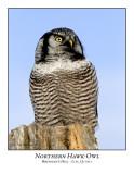 Northern Hawk-Owl-012