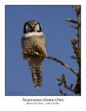 Northern Hawk-Owl-013