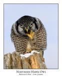 Northern Hawk-Owl-003