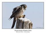 Northern Hawk-Owl-015