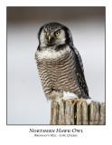 Northern Hawk-Owl-016