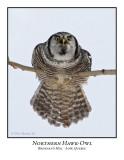 Northern Hawk-Owl-017