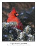 Northern Cardinal-001