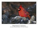 Northern Cardinal-002