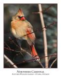 Northern Cardinal-003
