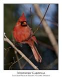 Northern Cardinal-004