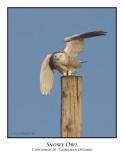 Snowy Owl-005