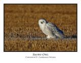 Snowy Owl-007