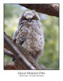 Great Horned Owl--005