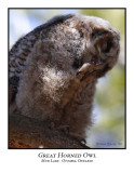 Great Horned Owl-007