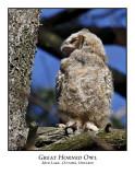 Great Horned Owl-008