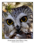 Northern Saw-whet Owl-003