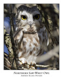 Northern Saw-whet Owl-004