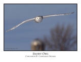 Snowy Owl-013