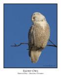 Snowy Owl-014