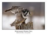 Northern Hawk-Owl-020