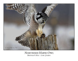 Northern Hawk-Owl-019