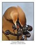 Cedar Waxwing-006