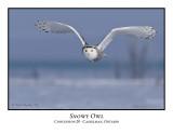 Snowy Owl-018
