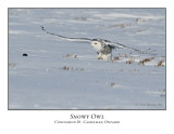 Snowy Owl-019