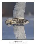 Snowy Owl-020