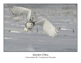 Snowy Owl-023