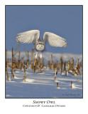 Snowy Owl-024