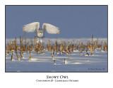 Snowy Owl-025