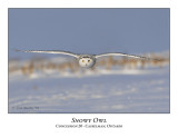 Snowy Owl-026