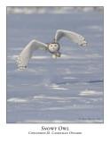 Snowy Owl-029