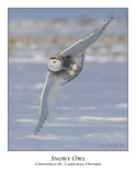 Snowy Owl-030