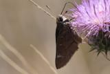 Viereck's Skipper (Atrytonopsis vierecki)