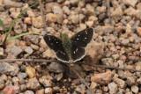 Many-Spotted Skipperling (Piruna aea)