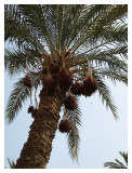 First time in my life to see real dates hanging from the date palm tree
