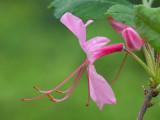 Pinxter Flower
