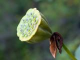 American Lotus Seeds