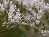 Late-flowering Thoroughwort