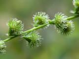 Agrimony Seeds