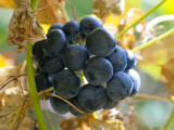 Carrion Flower Berries