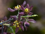 Early Blue Cohosh