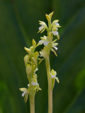 Early Coralroot Orchid