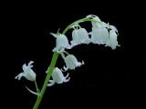 English Wood Hyacinth