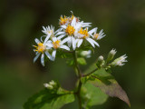 White Wood Aster