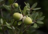 IInterior Live Oak (Quercus agrifolia agrifolia)