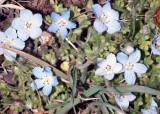 Baby Blue Eyes (Nemophila notata)
