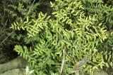 Bird's Foot Fern (Pellaea mucronata)