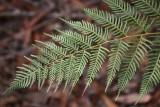 Wooglemai - Tree fern