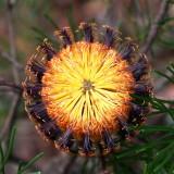 Bottle Brush flower (end on)